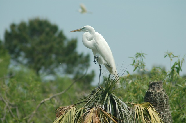 Egret In South Carolina