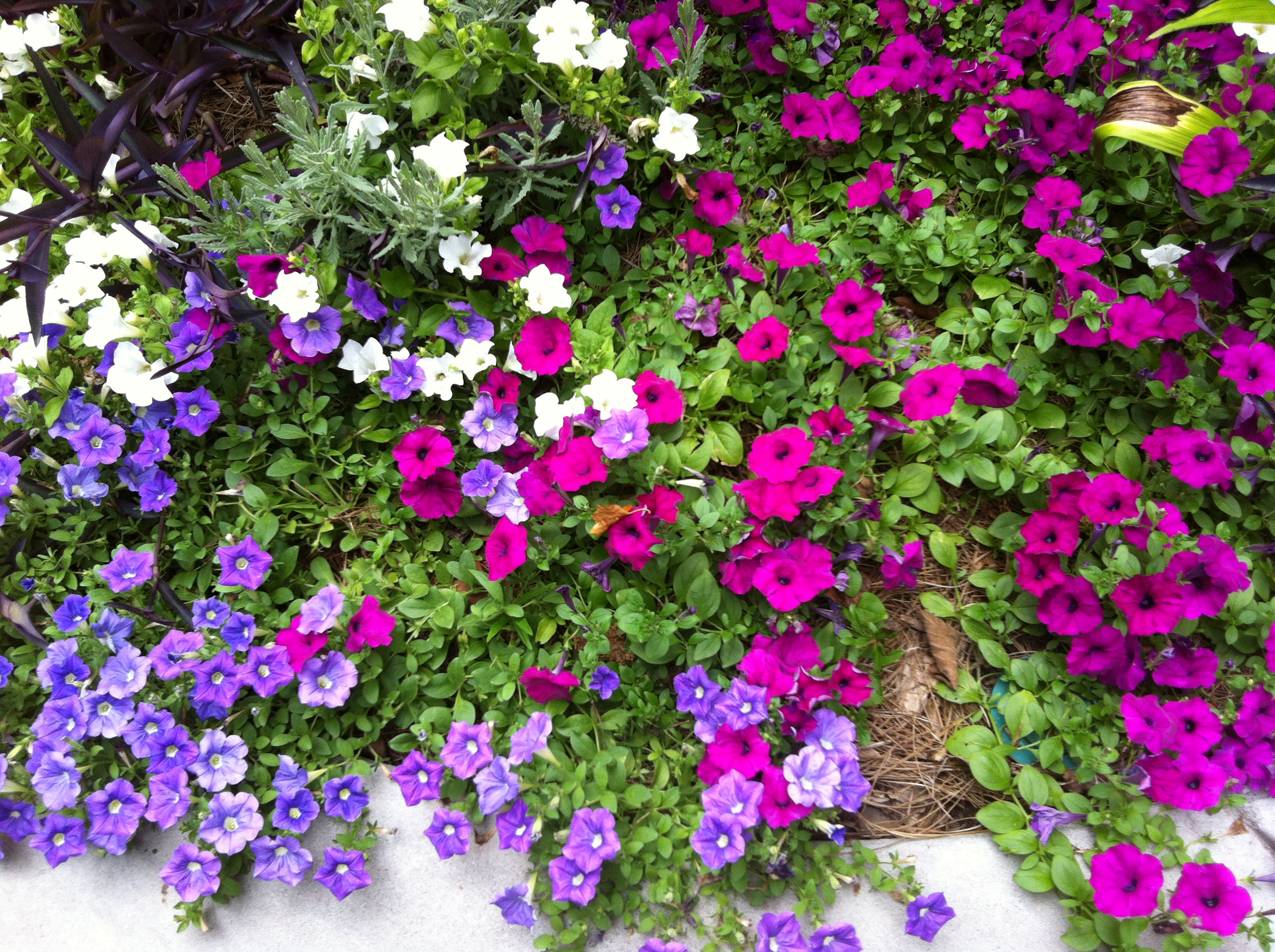 Petunias In My Summer Garden