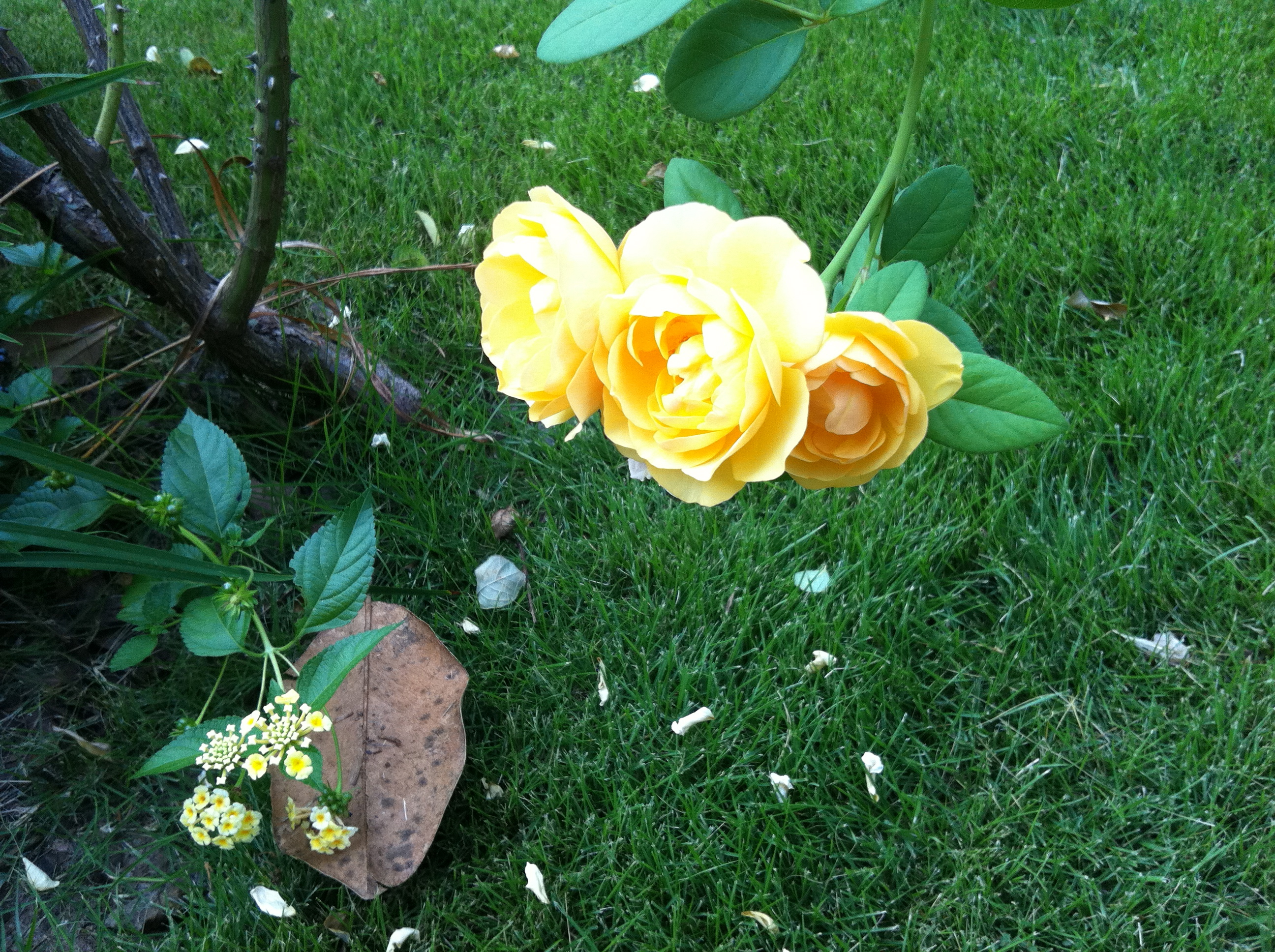 Roses On My Walk