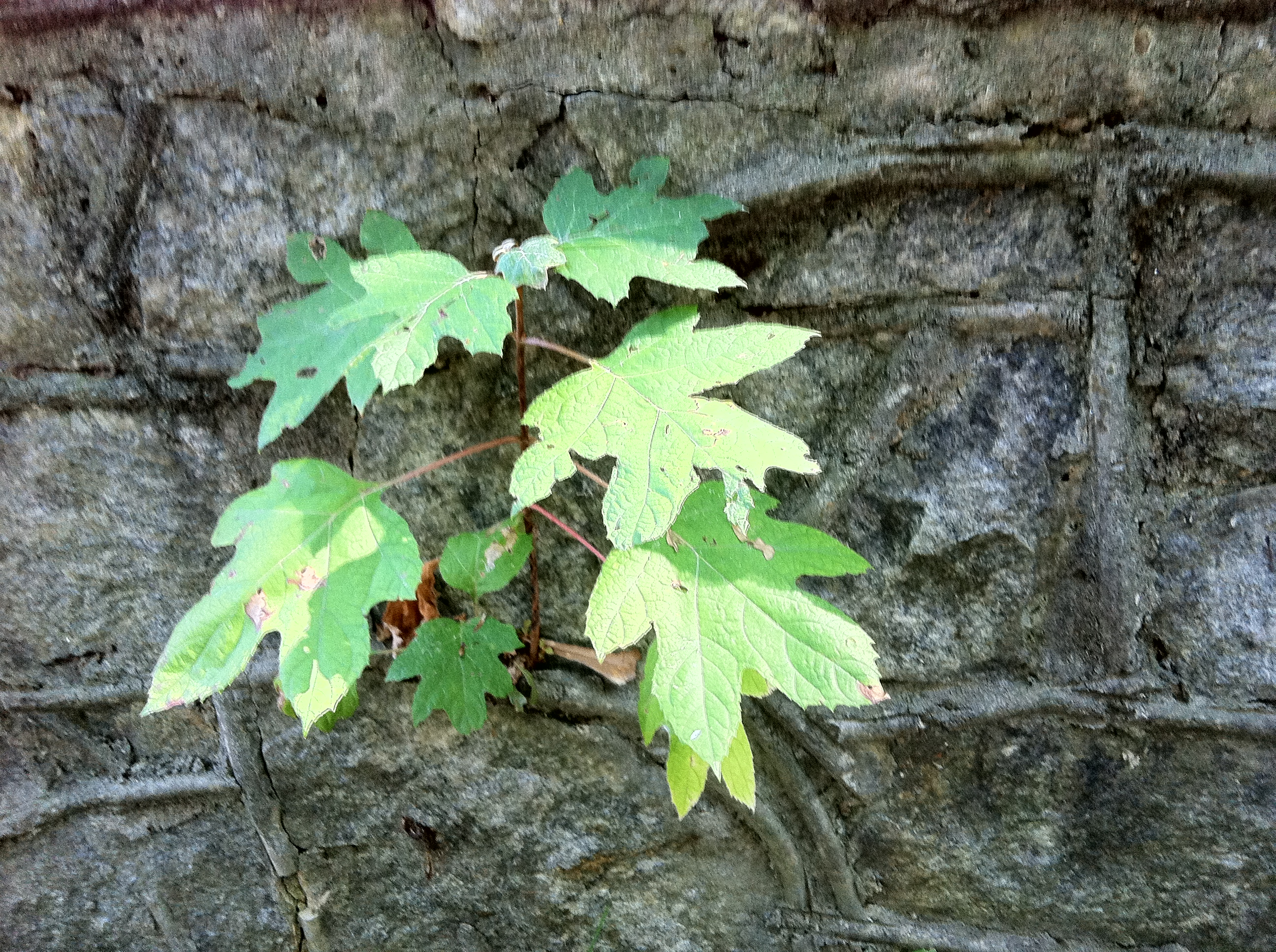 Vine Growing Out Of Stone Wall On My Walk
