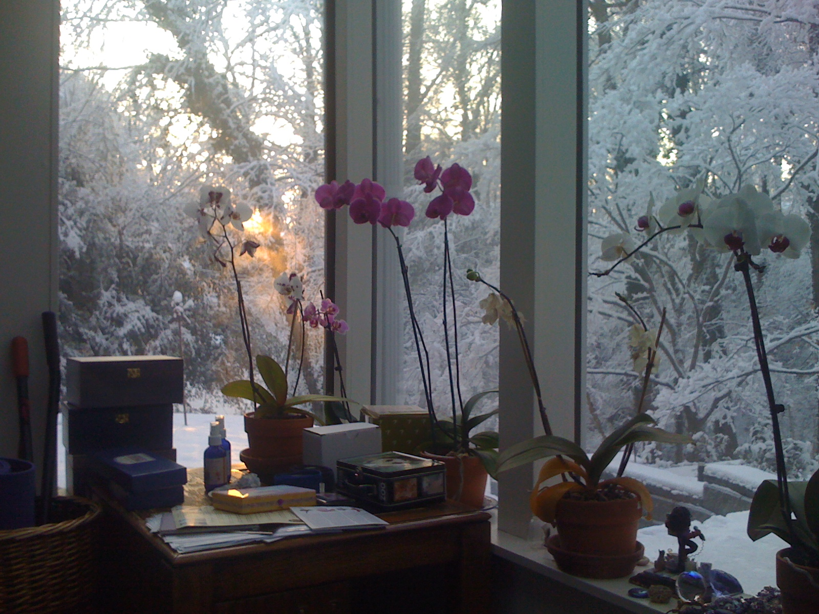 Sunrise Passing Over Orchids In My Studio