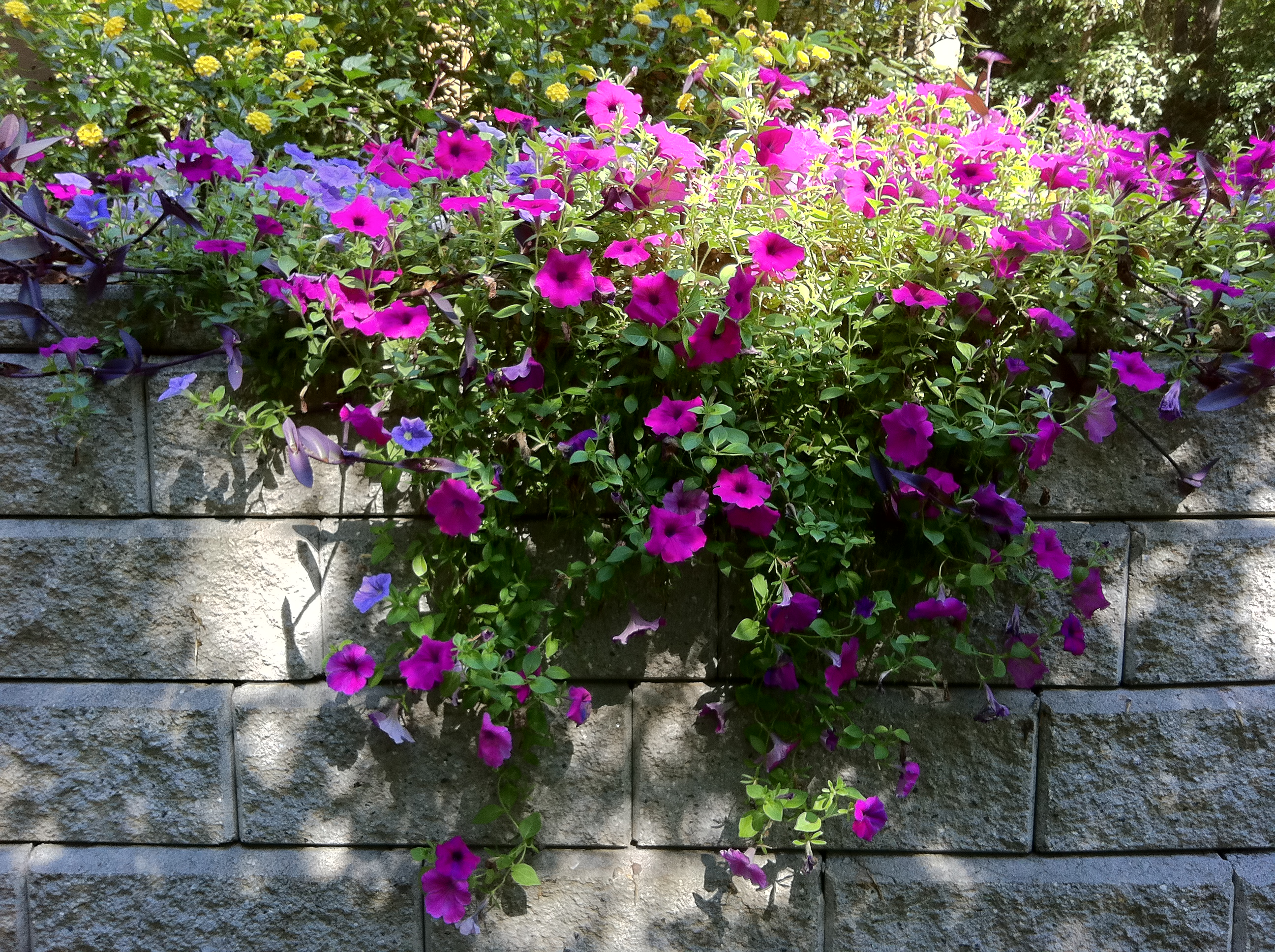 Petunias Over My Garden Wall