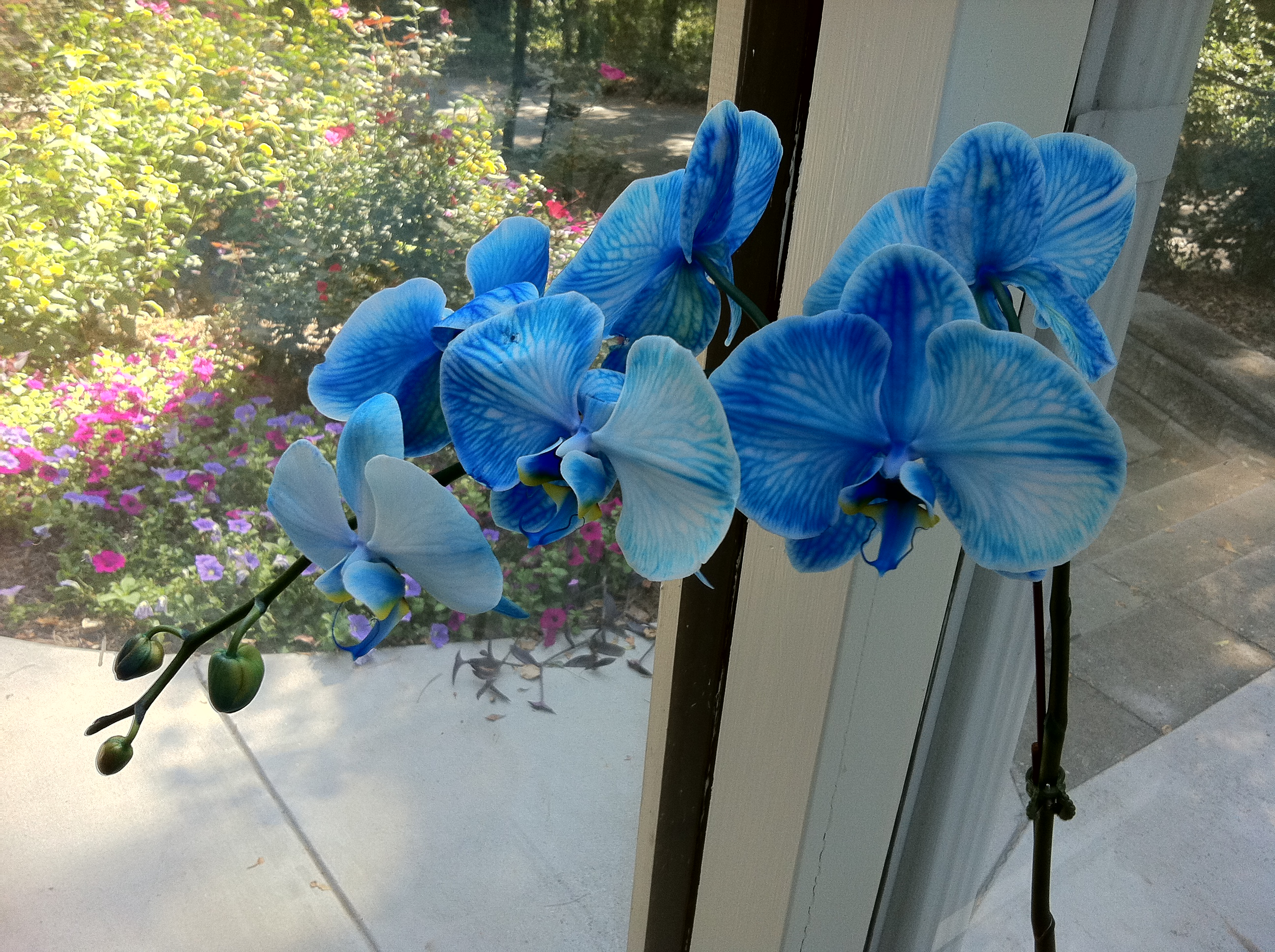 Blue Orchid In My Studio