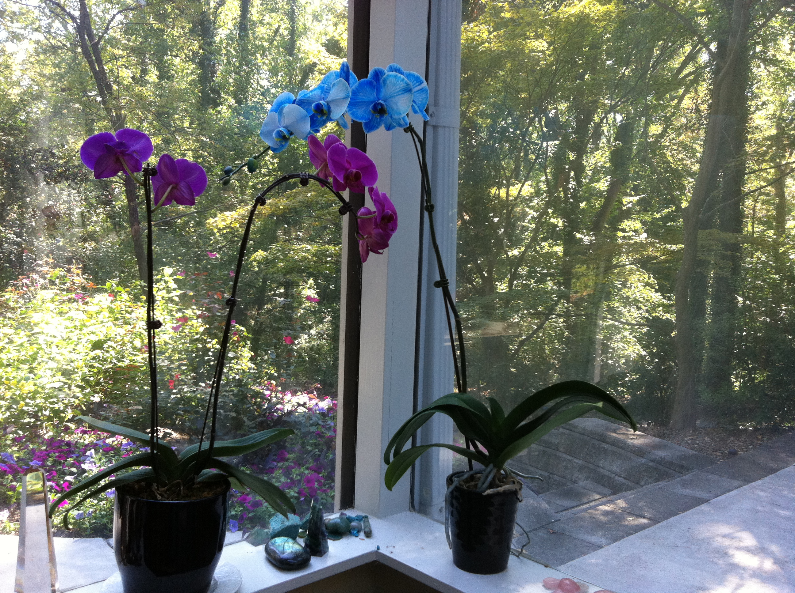 Blue And Purple Orchids In My Studio
