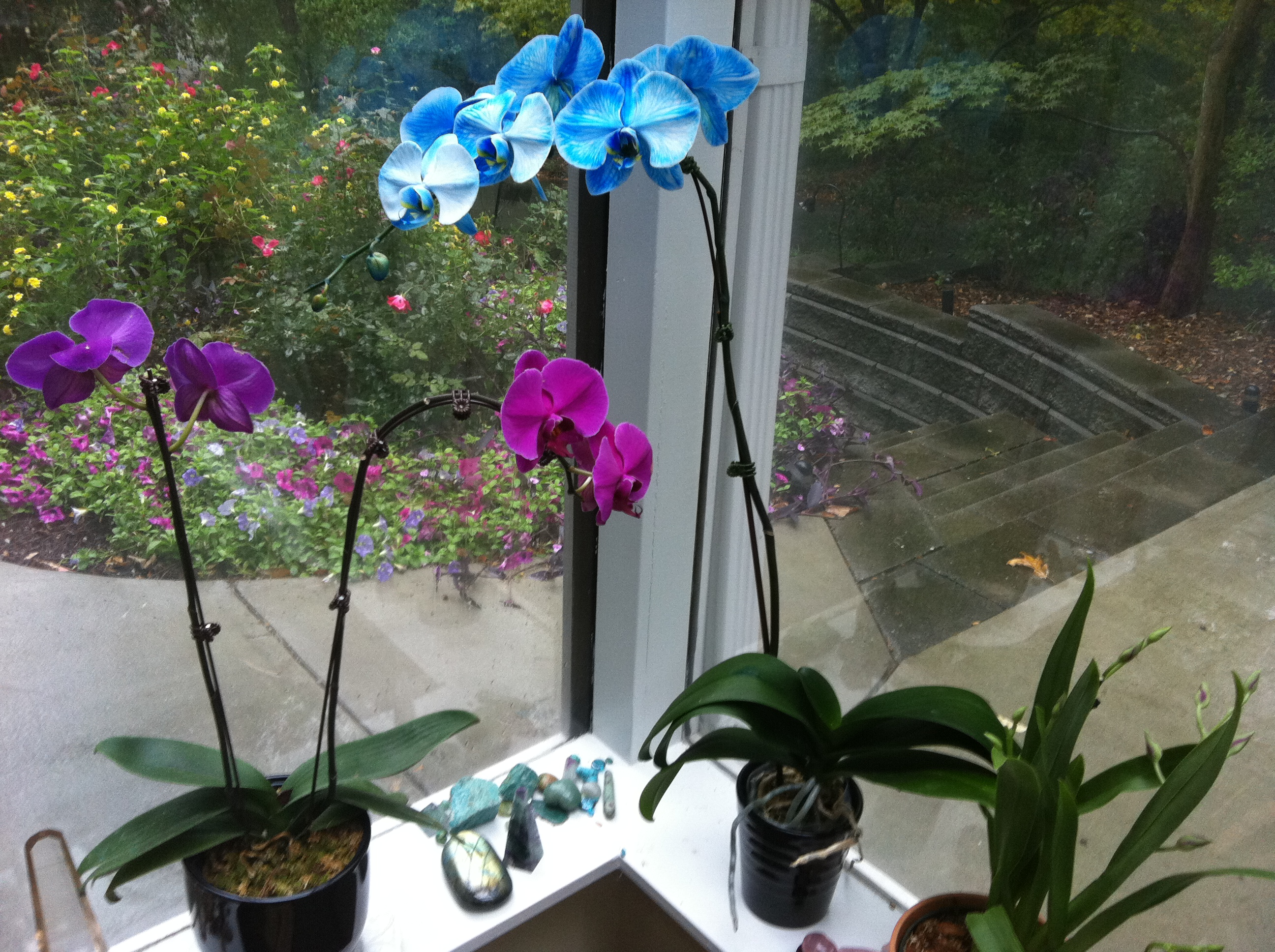 Blue And Purple Orchids, View From My Studio