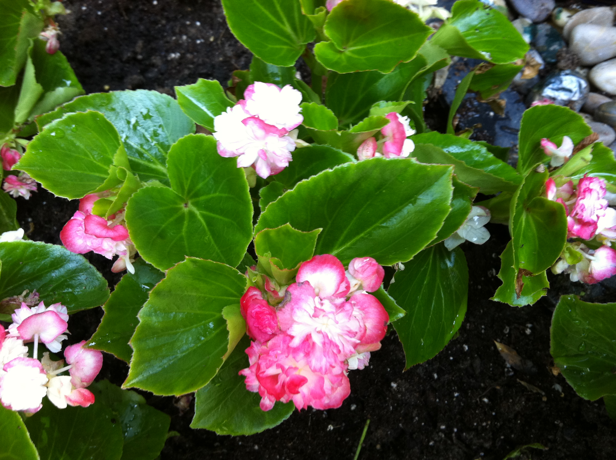 Apple Blossom Double Begonias In My Garden
