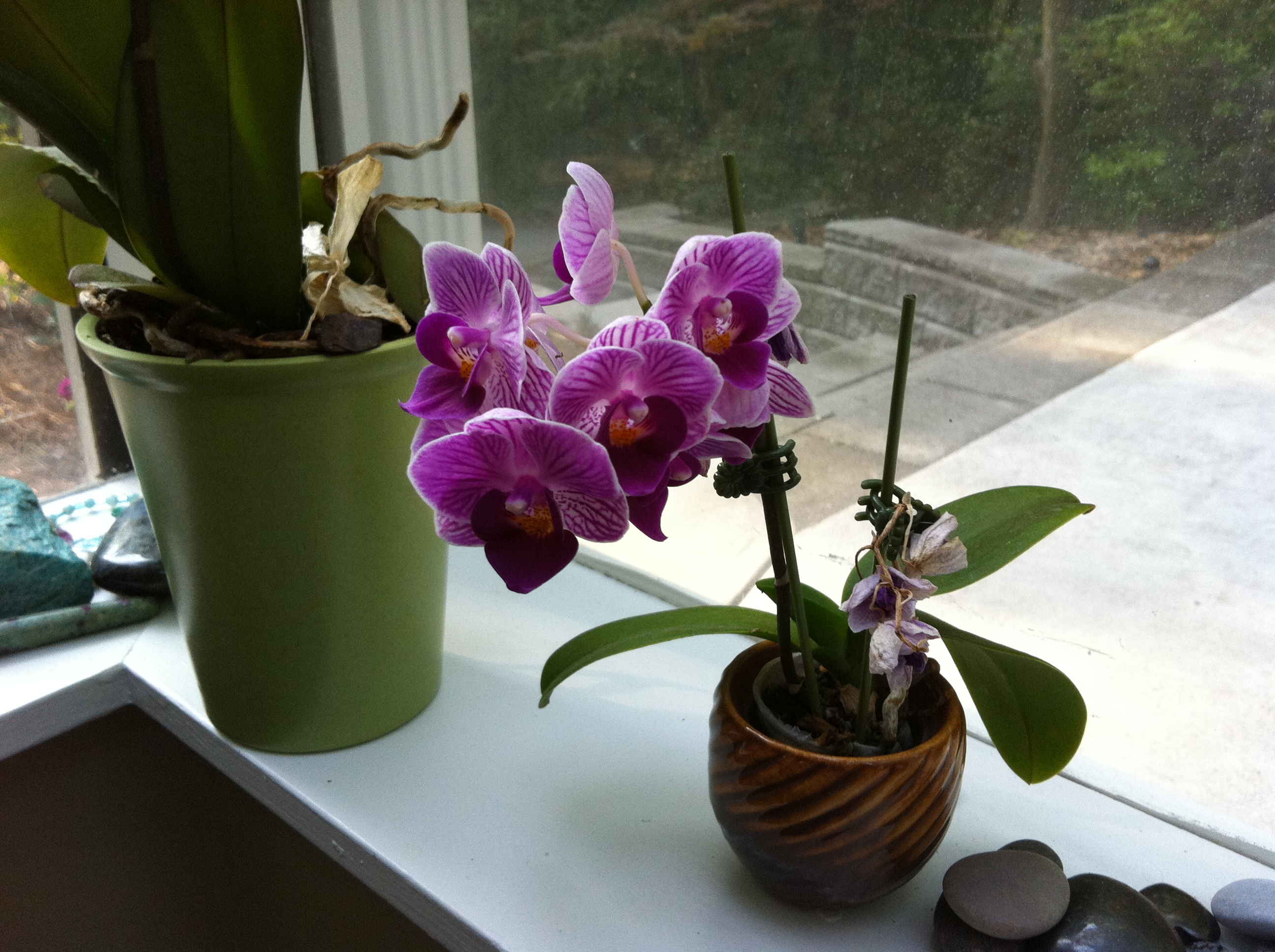Miniature Orchid In My Studio