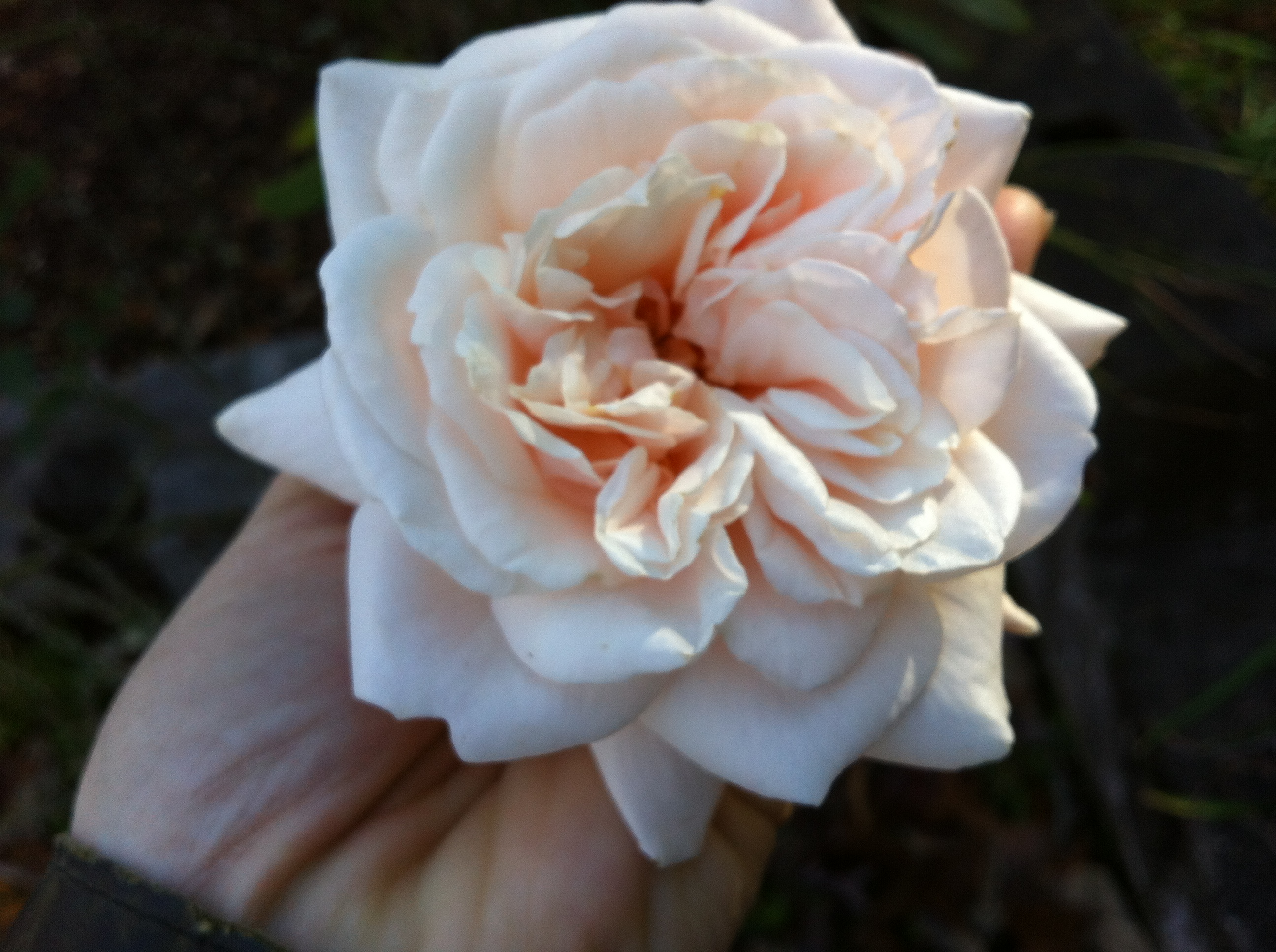 Rose On My Walk