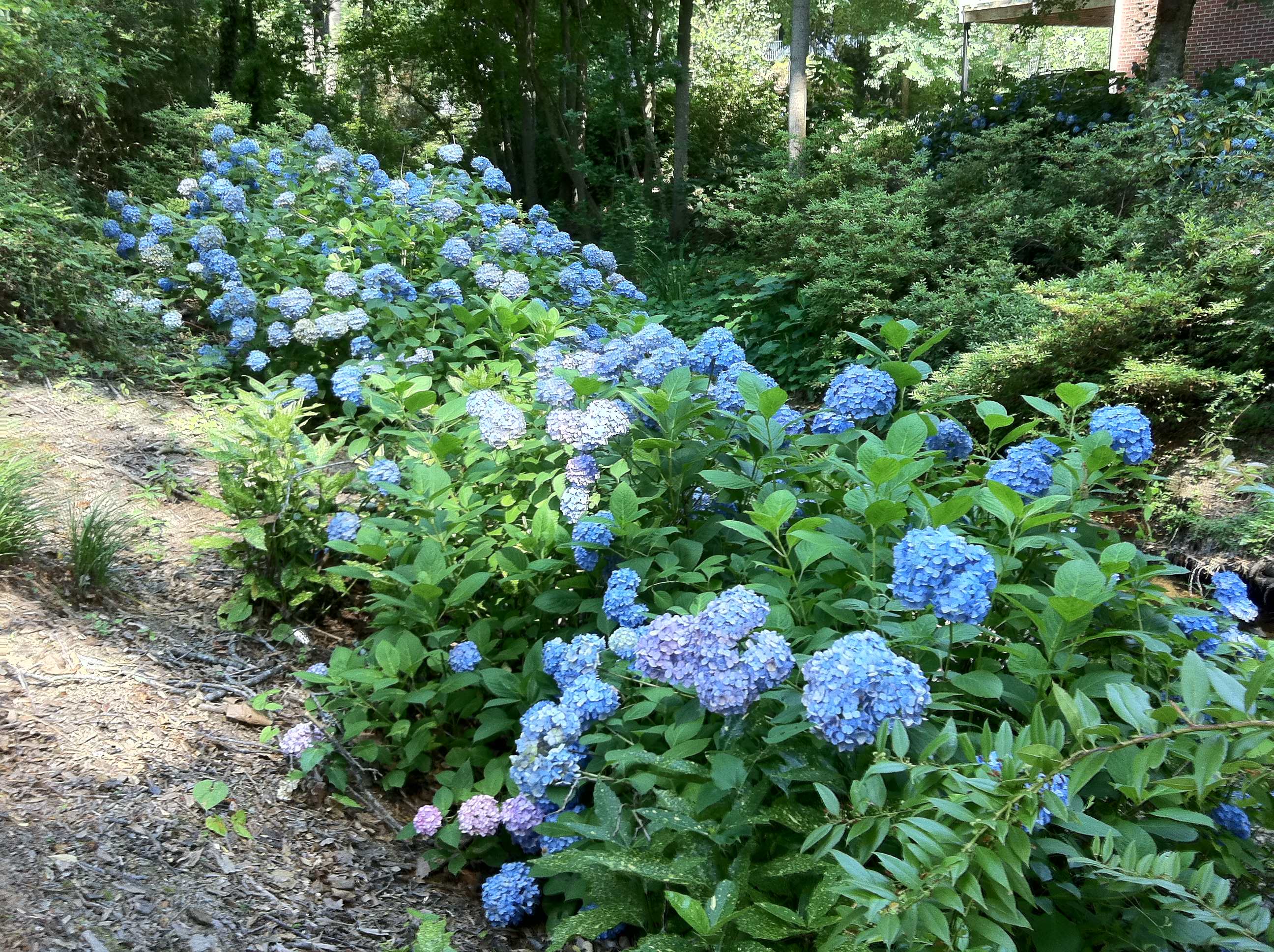 Hydrangeas Near Our Park