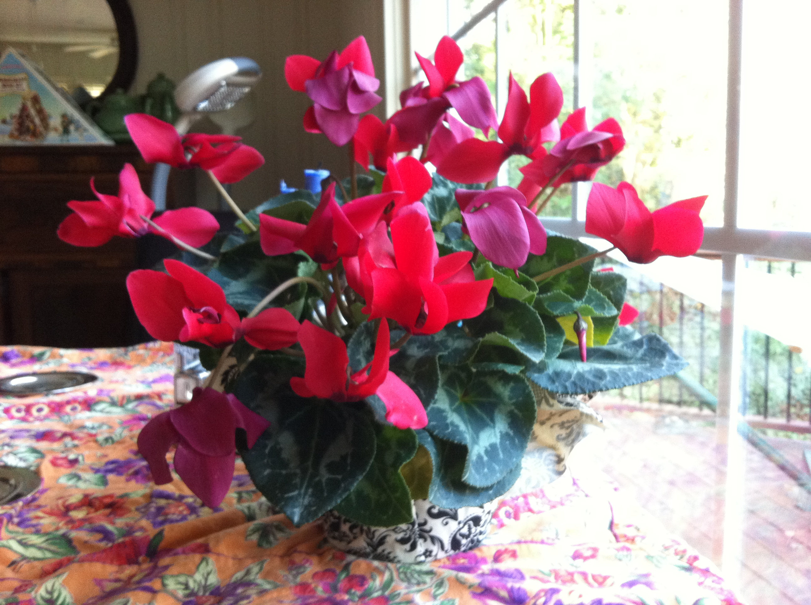 Cyclamen On My Breakfast Table