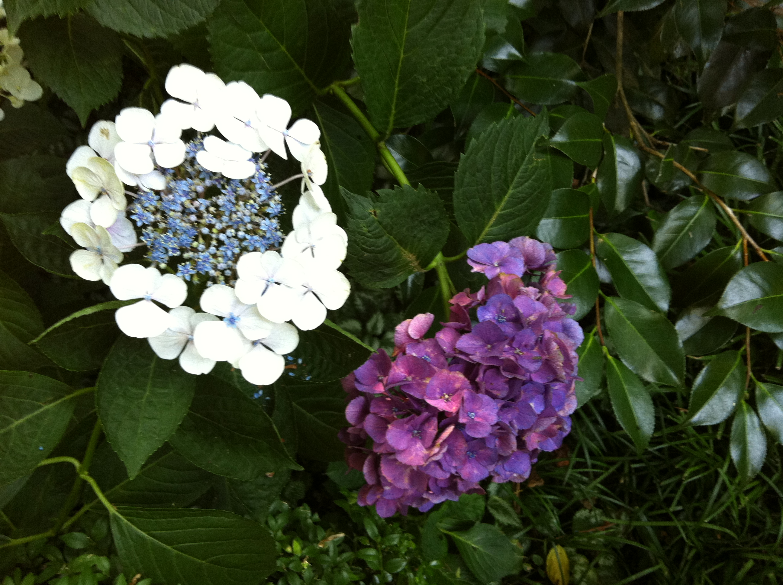 Hydrangeas On My Walk