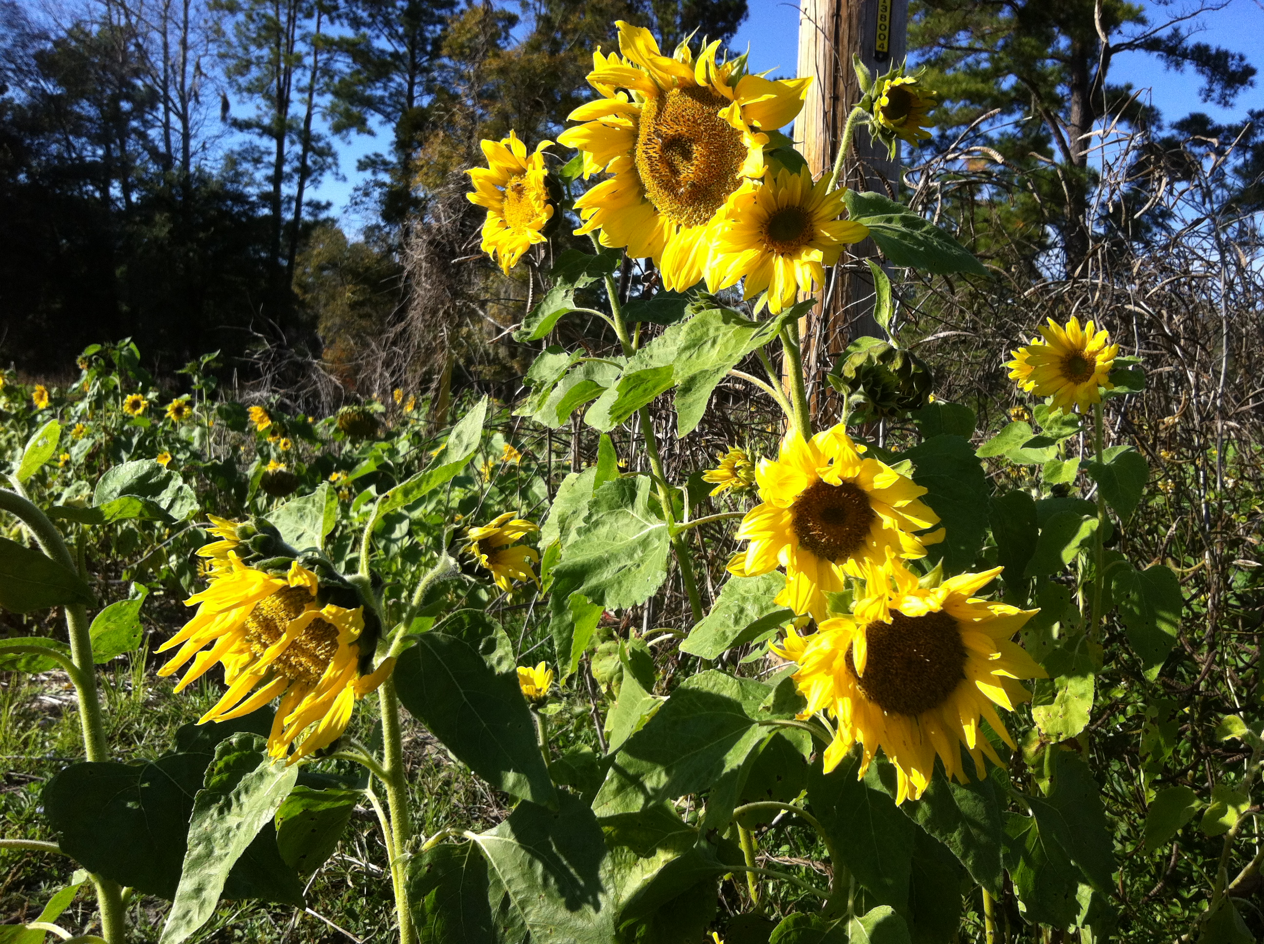 Sunflowers In South Carolina
