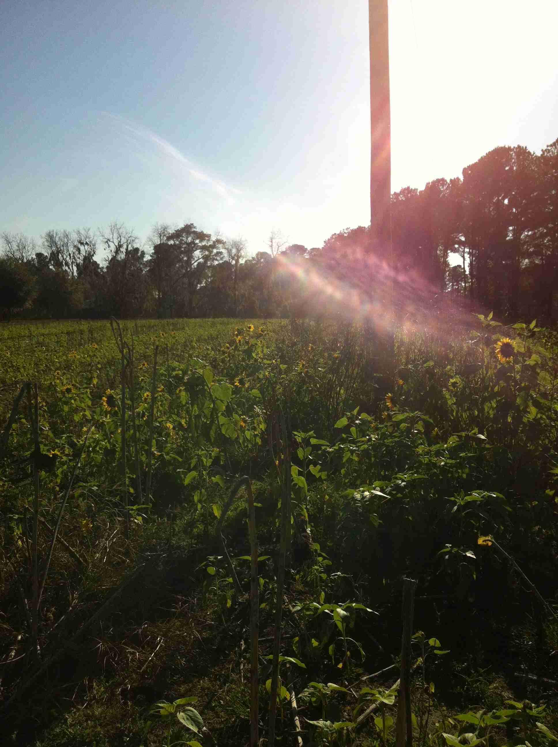 Light In Sunflower Field In South Carolina