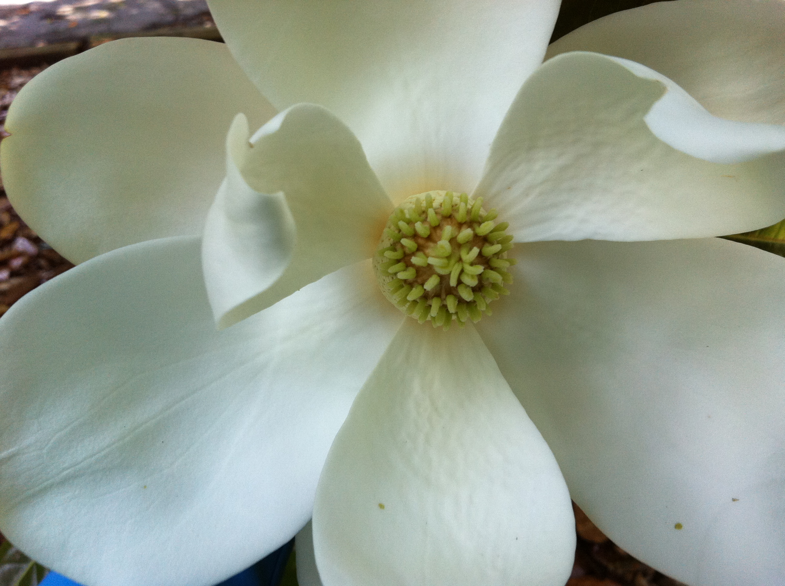 Magnolia Blossom From My Garden