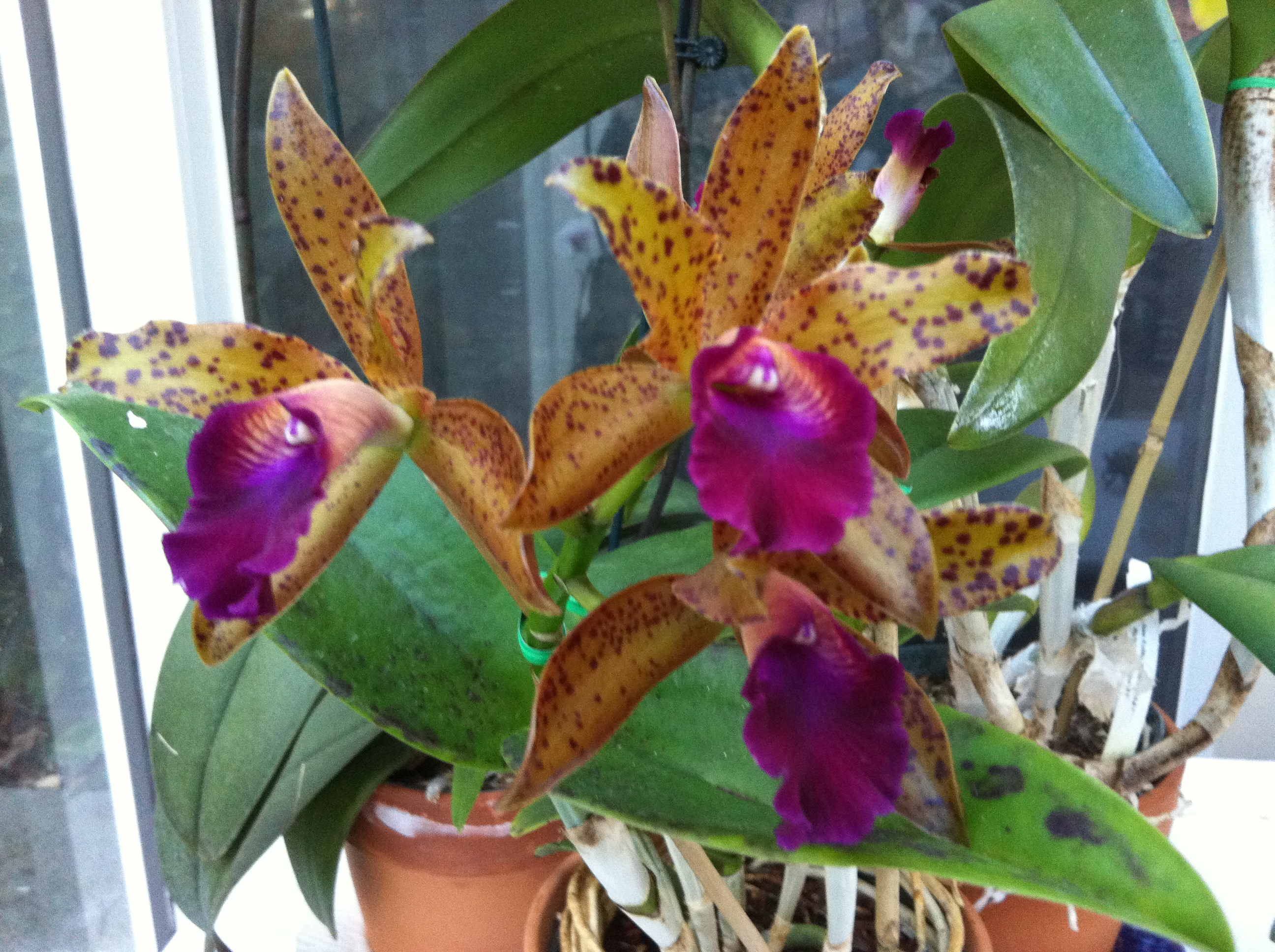 Cattleya Orchid In My Studio