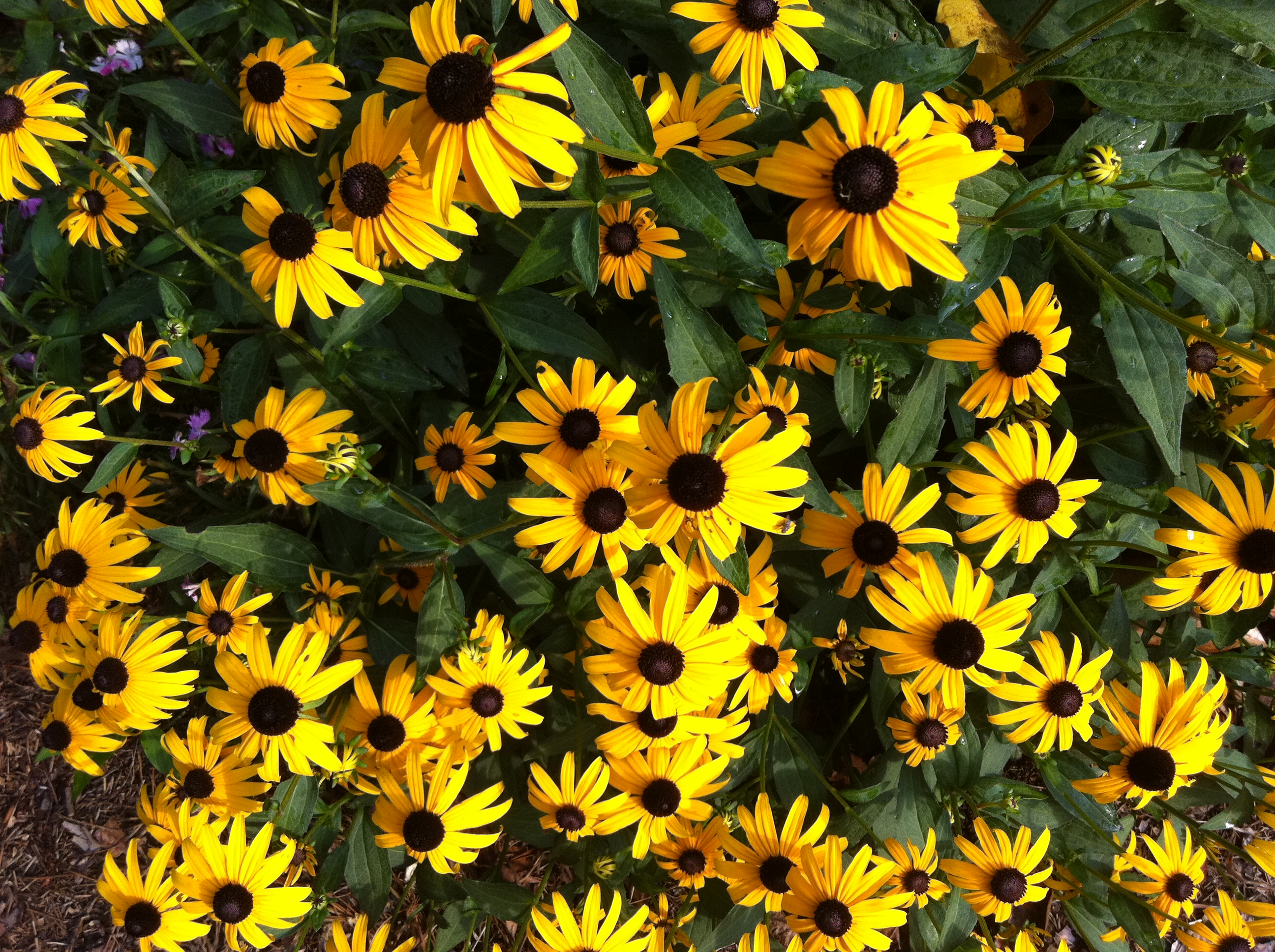Black Eyed Susans On My Walk