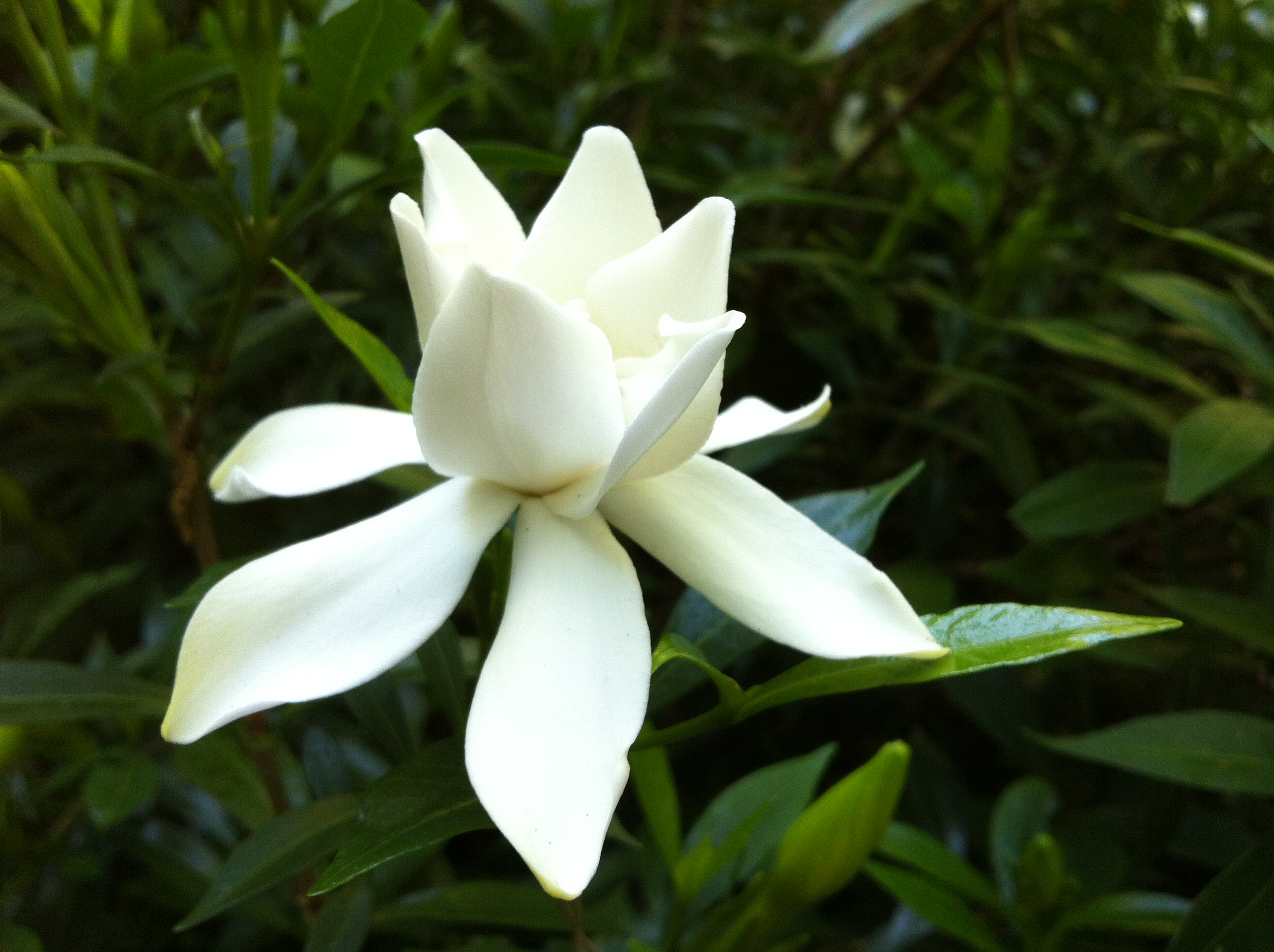Magnolia In My Garden