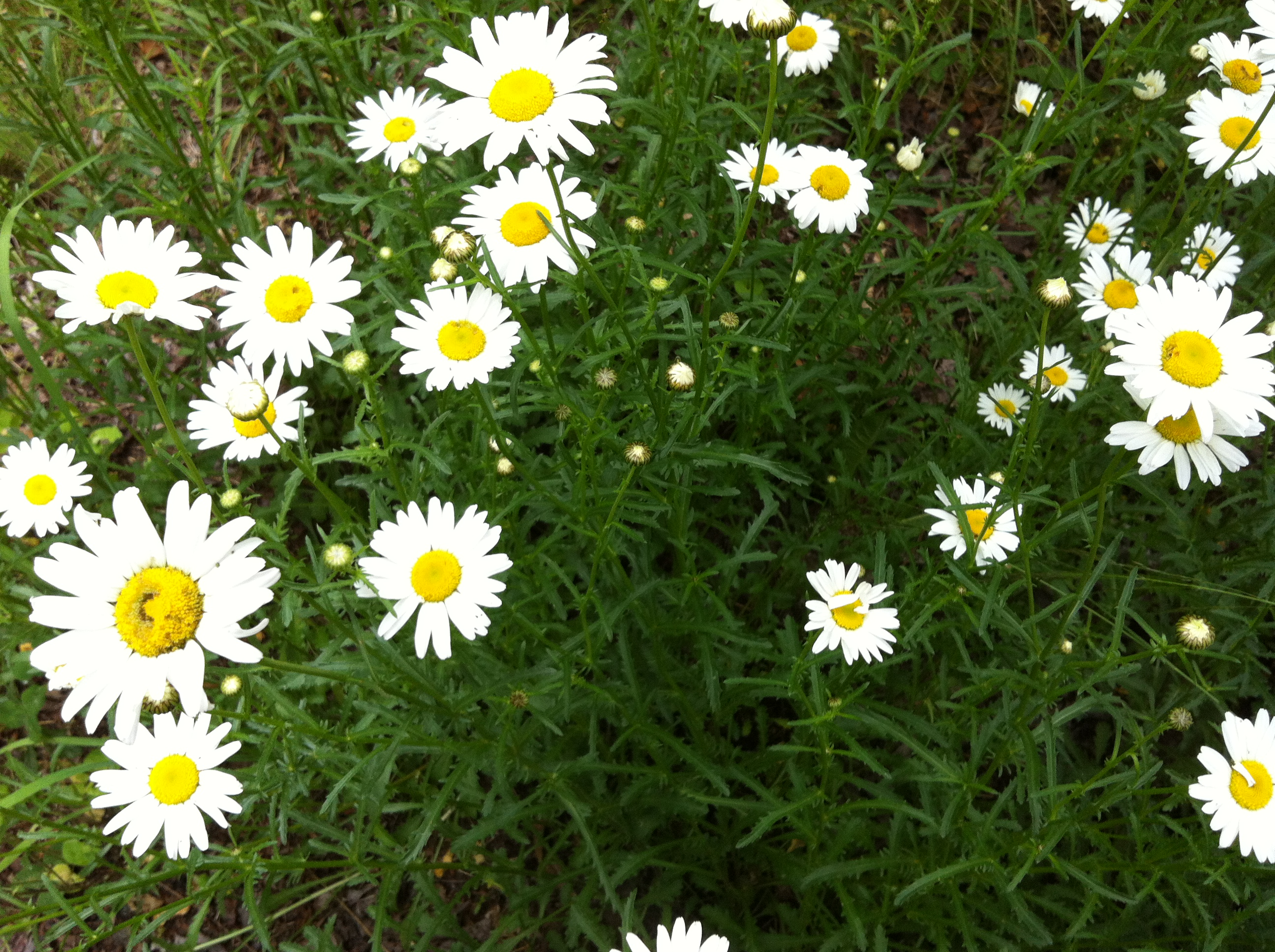 Daisies On My Walk