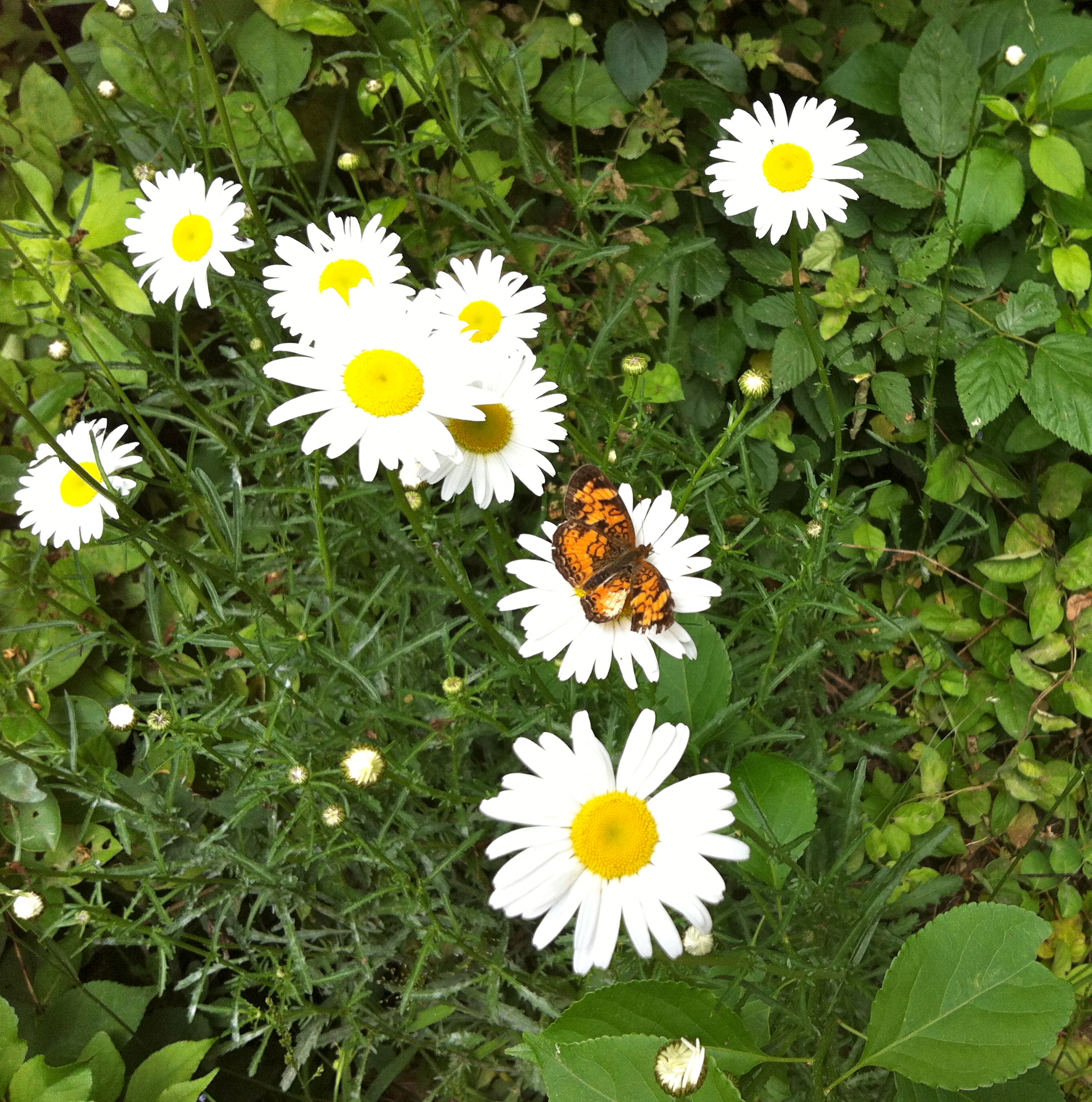 Butterfly On A Daisy On My Walk