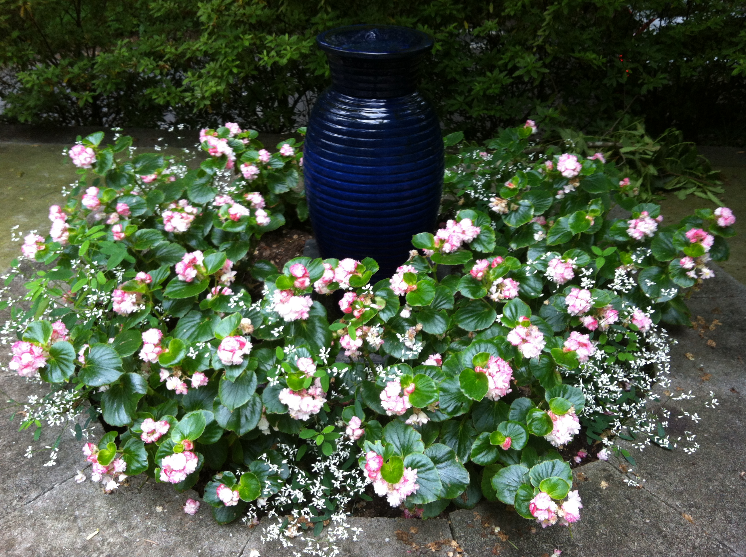 Apple Blossom Double Begonias And Euphorbia Around Blue Jar Fountain In My Garden