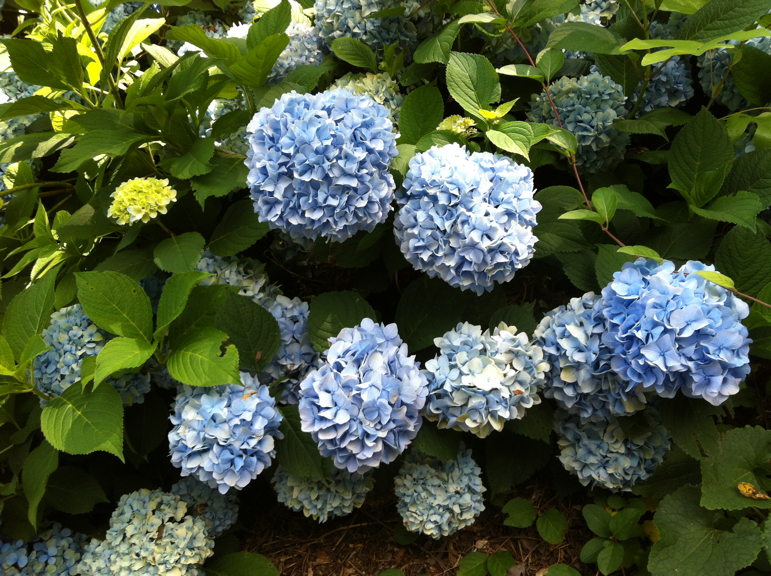 Blue Hydrangeas On My Walk