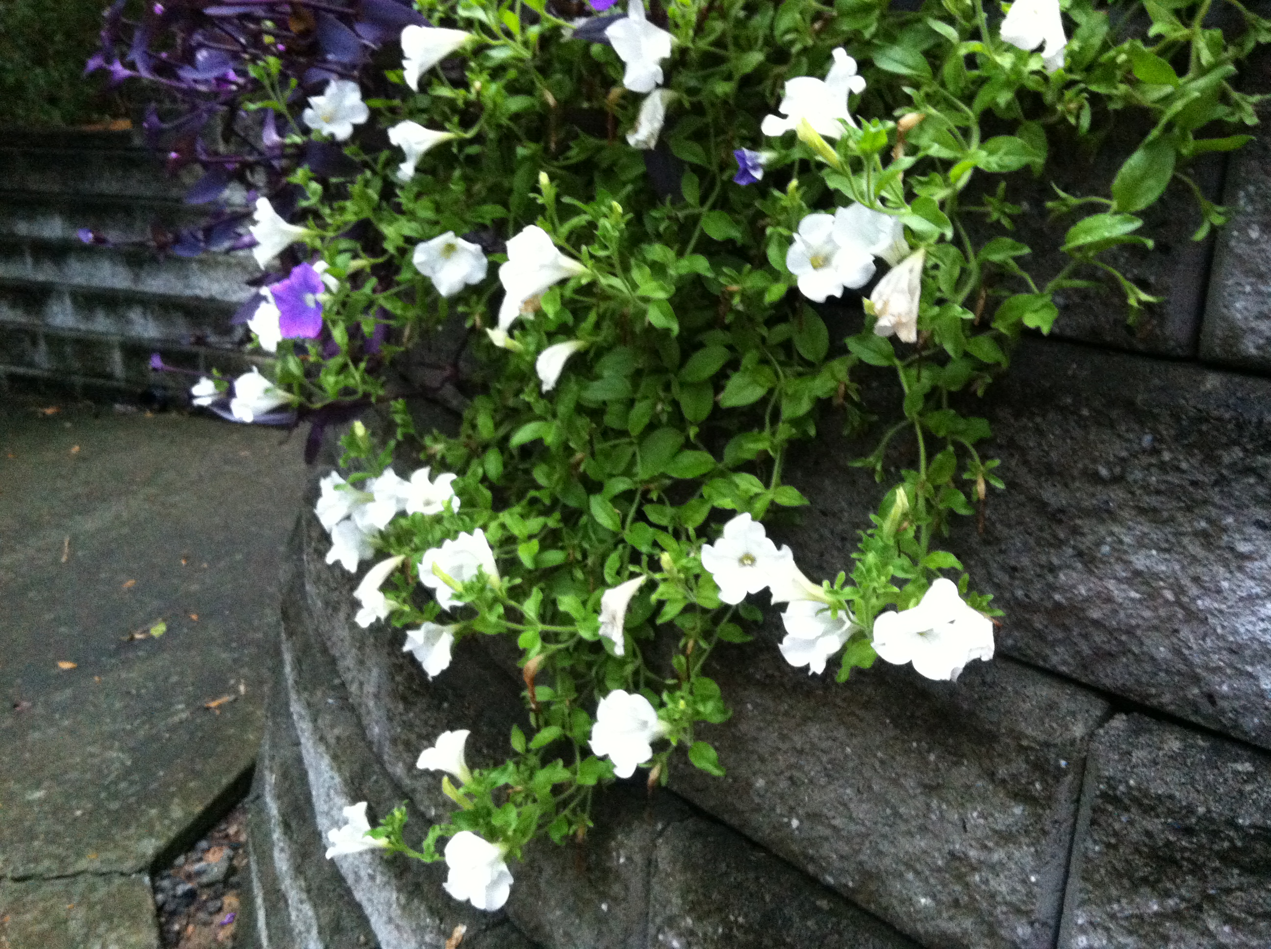 White Petunias Over My Garden Wall