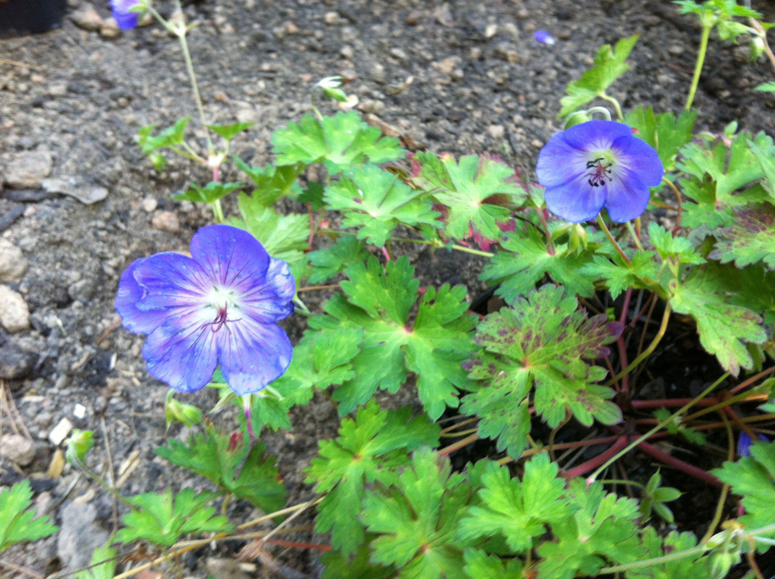 Perennial Geraniums In My Garden