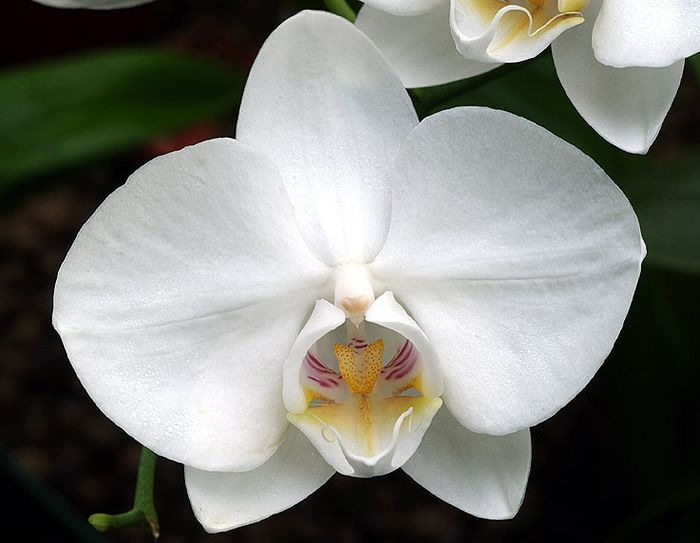 White Beauty Phalaenopsis, Isle of Gigha, Scotland