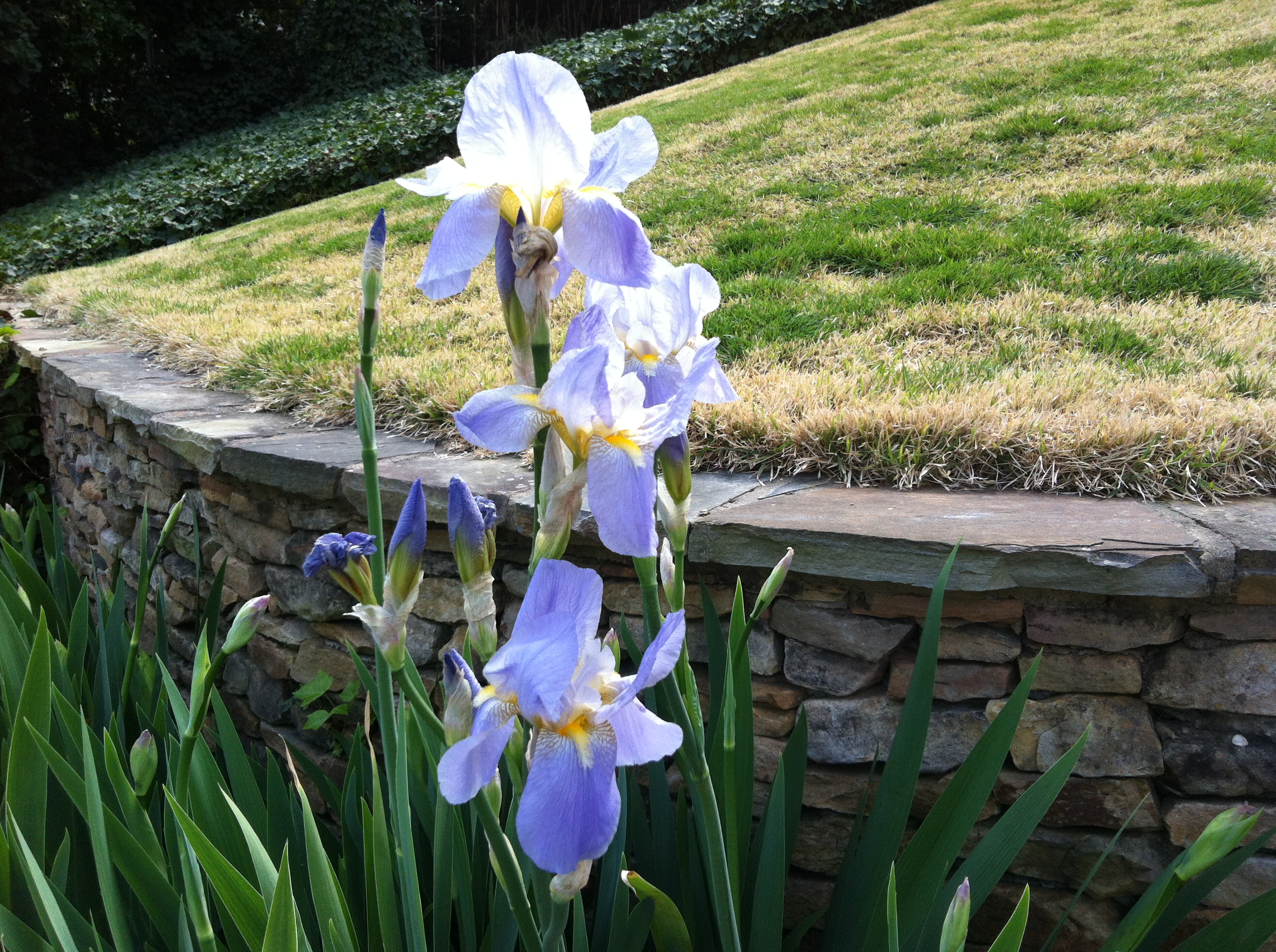 Irises On My Walk