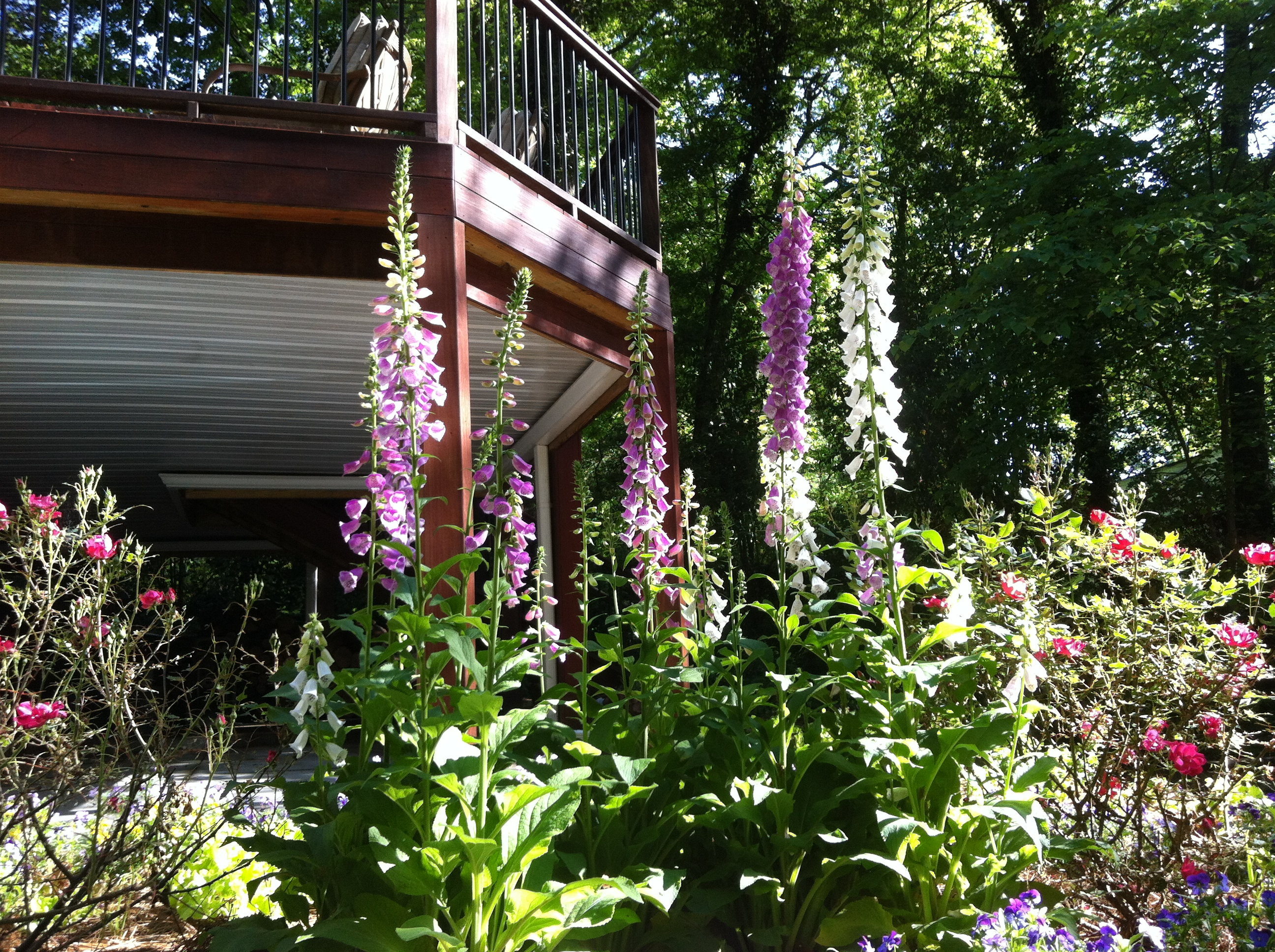 Triumphant Foxgloves