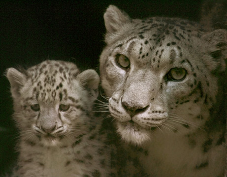 Mother and Baby Snow Leopard