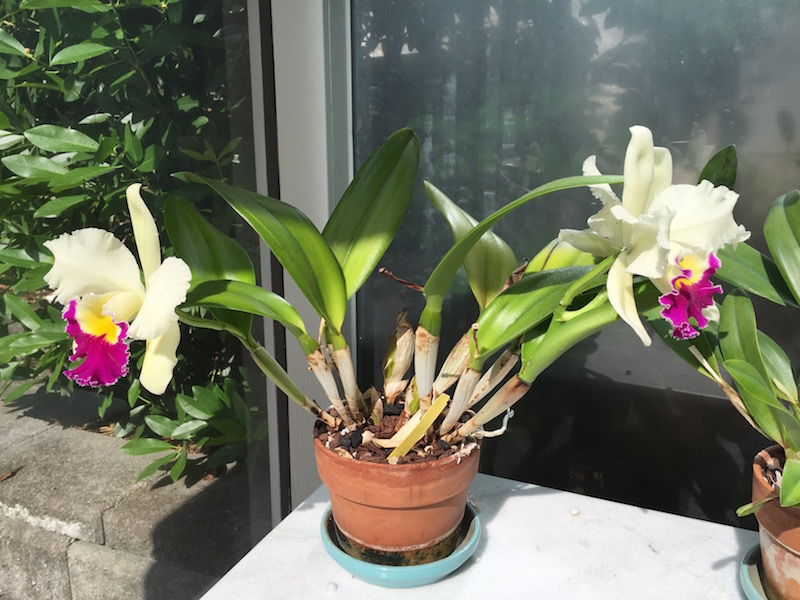 """How to Use Natural Healing Methods to Raise Amazing Orchids"""