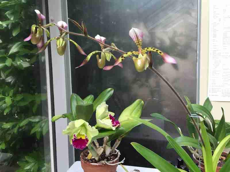 """Paphiopedilum Haynaldianum and Brassolaeliocattleya Greenworth the last time they bloomed together. """