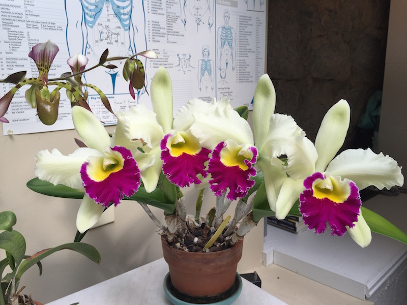 """My chartreuse cattleya reblooming for the 8th time in my studio this week"""