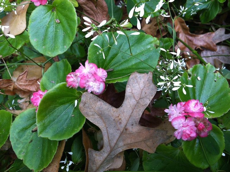 Double begonias and euphorbia among fall leaves