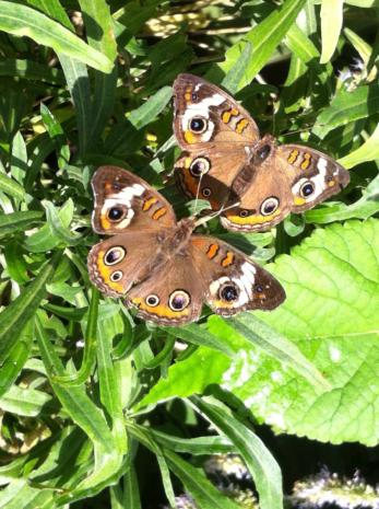 Photograph of Buckeye Butterflies by Catherine Carrigan
