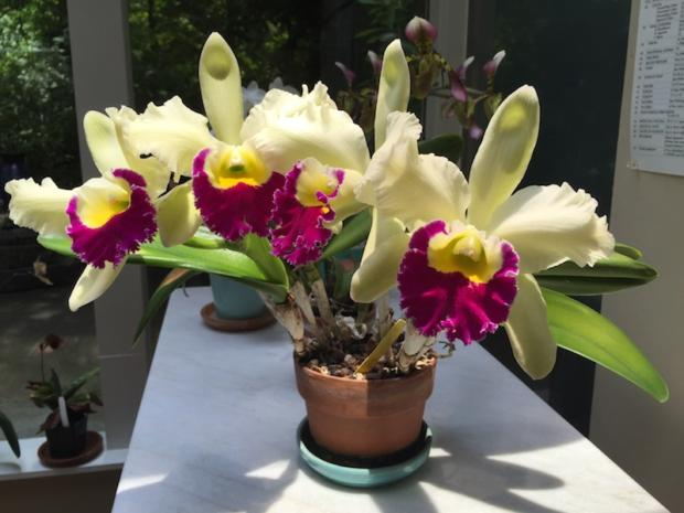 Cattleya Mature with Four Blooms May 19, 2016