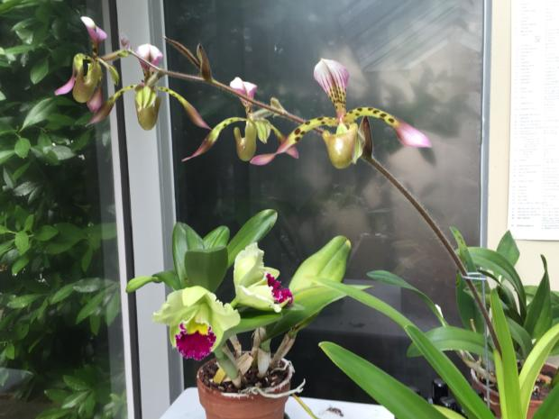 My Brassolaeliocattleya Greenworth with my Paphiopedilum Haynaldianum.