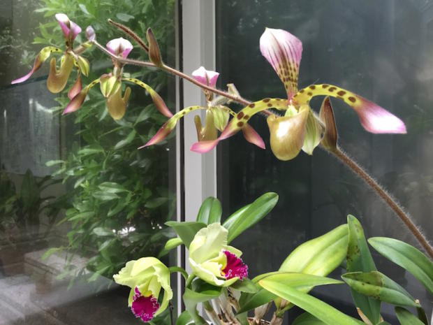 Two of my favorite orchids blooming in my healing studio