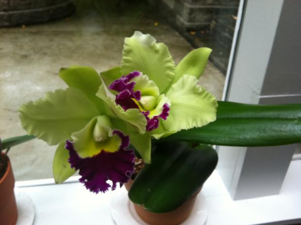 My chartreuse cattleya when it first bloomed in October 2011