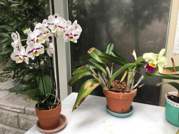 After my ill-fated repotting, my chartreuse cattleya was no longer thriving, June 29, 2017.