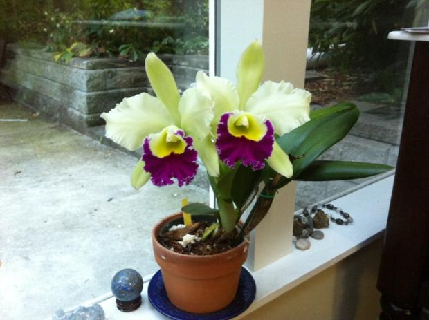 My chartreuse cattleya beginning to grow up May 28, 2012