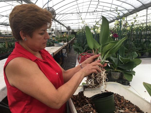 First professional repotting of my chartreuse cattleya at Rainbeau Orchids July 29, 2017.