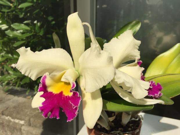 My Chartreuse Cattleya Looking Pretty June 19, 2015
