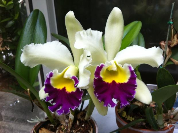 Glorious chartreuse cattleya July 2, 2013