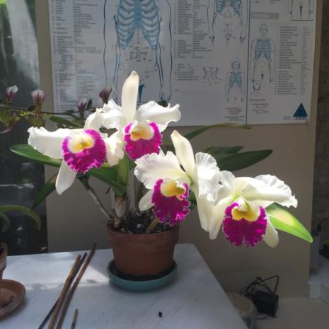 My chartreuse cattleya in full bloom in my healing studio