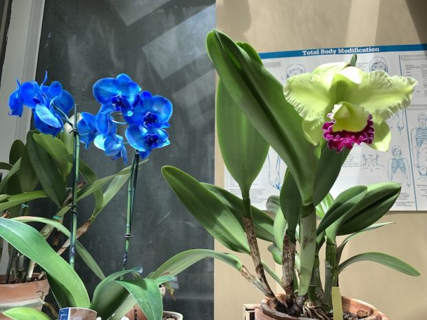 Chartreuse cattleya with a blue phalaeonopsis orchid blooming in my healing room July 2019