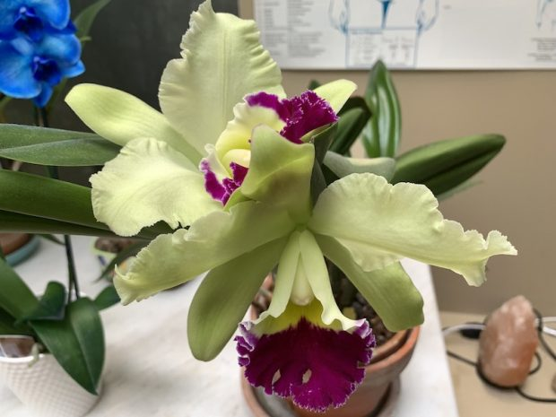Chartreuse cattleya in my healing room July 2019