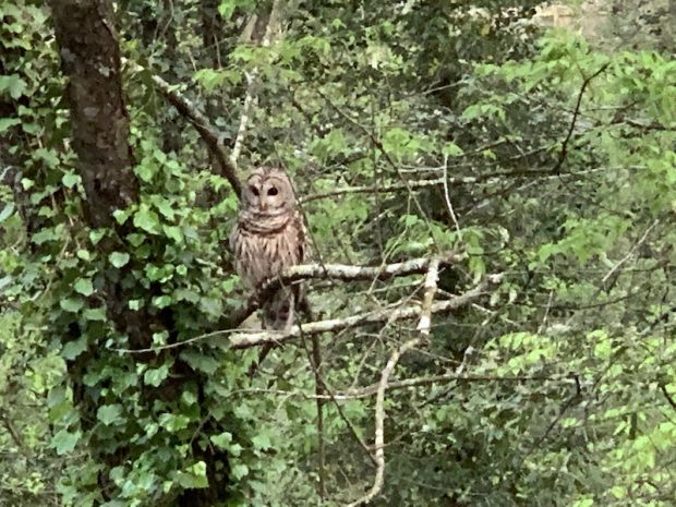 Barred Owl Helps Us See Into the Darkness