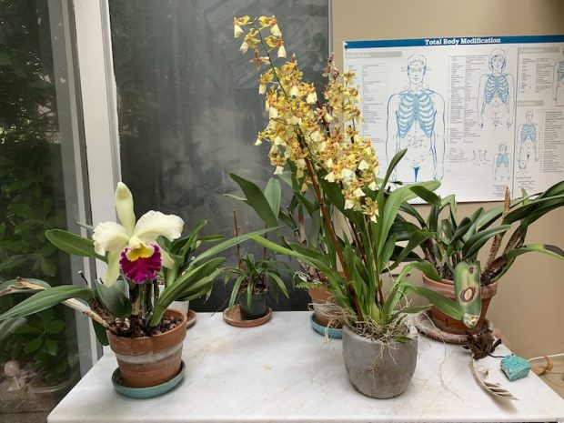 My new yellow oncidium blooming next to my favorite chartreuse cattleya in my healing room